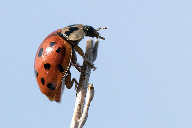 Hot Summer Sees Sharp Rise In Harlequin Ladybird Numbers